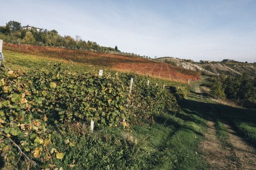 Vineyards for Balsamic Vinegar